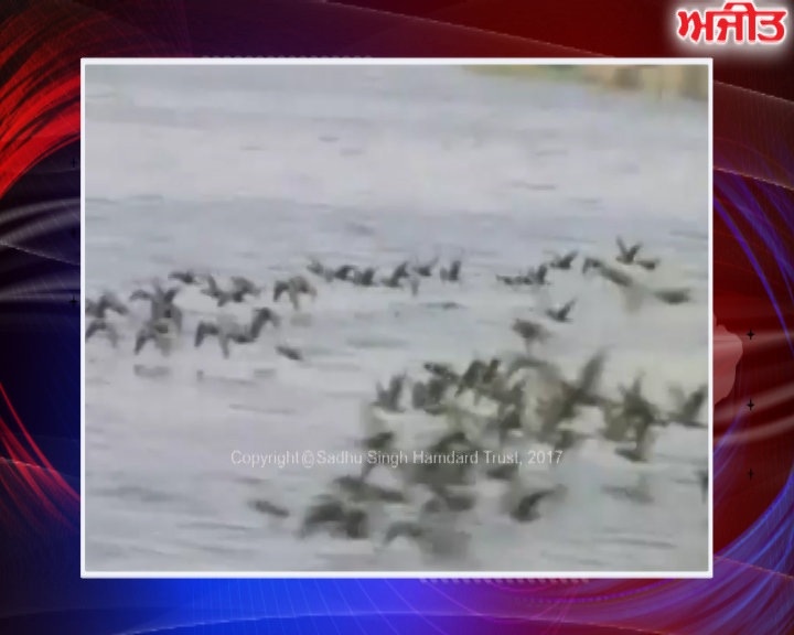 ਤਰਨਤਾਰਨ : ਹਰੀਕੇ ਝੀਲ 'ਚ ਪ੍ਰਵਾਸੀ ਪੰਛੀ ਪਹੁੰਚਣੇ ਸ਼ੁਰੂ